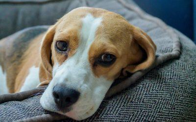Unbeachtete Opfer der Corona-Pandemie: Laborhunde